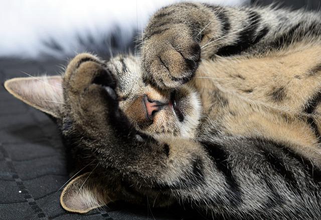 gato-garemveterinarios